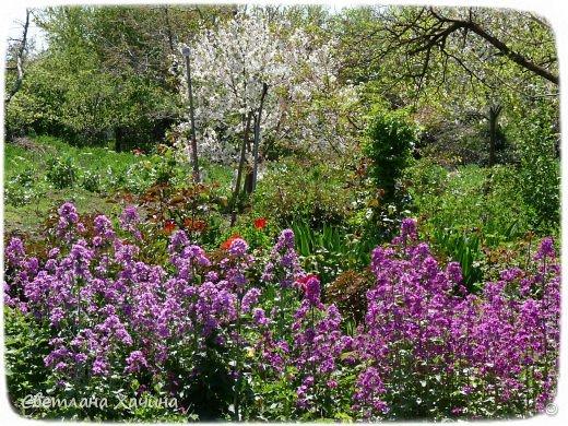 Зима, слякоть и серость и душа просит, ну уже очень сильно просит солнышка и цветочков! Дорогие гостьюшки, погуляем по моему палисадничку, порадуемся птичкам и бабочкам, понюхаем цветочки! Порадуем душу весенними красками, их у меня много! Весна у нас ранняя и бешеная! Вспыхивает и загорается мгновенно, всё цветёт и благоухает разом, не знаешь куда смотреть и, что снимать. Летом такой роскоши уже нет... Летом наши бедные растения умирают от палящего солнца и изнуряющей жары. Цветут только колючки и акации. Осень потом порадует розами и хризантемами, если лето не до конца выжжет и весной улитки  не слопают.  Персик цветёт очень рано, персиковые сады стоят в розовой пене, как клубничное варенье.  фото 14