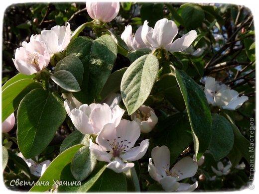 Зима, слякоть и серость и душа просит, ну уже очень сильно просит солнышка и цветочков! Дорогие гостьюшки, погуляем по моему палисадничку, порадуемся птичкам и бабочкам, понюхаем цветочки! Порадуем душу весенними красками, их у меня много! Весна у нас ранняя и бешеная! Вспыхивает и загорается мгновенно, всё цветёт и благоухает разом, не знаешь куда смотреть и, что снимать. Летом такой роскоши уже нет... Летом наши бедные растения умирают от палящего солнца и изнуряющей жары. Цветут только колючки и акации. Осень потом порадует розами и хризантемами, если лето не до конца выжжет и весной улитки  не слопают.  Персик цветёт очень рано, персиковые сады стоят в розовой пене, как клубничное варенье.  фото 30