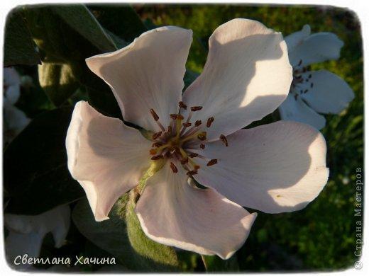 Зима, слякоть и серость и душа просит, ну уже очень сильно просит солнышка и цветочков! Дорогие гостьюшки, погуляем по моему палисадничку, порадуемся птичкам и бабочкам, понюхаем цветочки! Порадуем душу весенними красками, их у меня много! Весна у нас ранняя и бешеная! Вспыхивает и загорается мгновенно, всё цветёт и благоухает разом, не знаешь куда смотреть и, что снимать. Летом такой роскоши уже нет... Летом наши бедные растения умирают от палящего солнца и изнуряющей жары. Цветут только колючки и акации. Осень потом порадует розами и хризантемами, если лето не до конца выжжет и весной улитки  не слопают.  Персик цветёт очень рано, персиковые сады стоят в розовой пене, как клубничное варенье.  фото 31