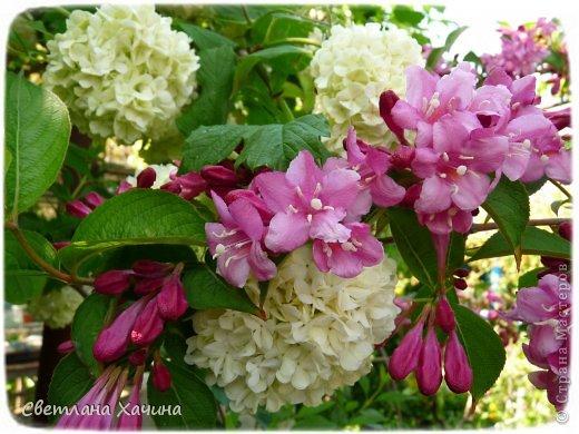 Зима, слякоть и серость и душа просит, ну уже очень сильно просит солнышка и цветочков! Дорогие гостьюшки, погуляем по моему палисадничку, порадуемся птичкам и бабочкам, понюхаем цветочки! Порадуем душу весенними красками, их у меня много! Весна у нас ранняя и бешеная! Вспыхивает и загорается мгновенно, всё цветёт и благоухает разом, не знаешь куда смотреть и, что снимать. Летом такой роскоши уже нет... Летом наши бедные растения умирают от палящего солнца и изнуряющей жары. Цветут только колючки и акации. Осень потом порадует розами и хризантемами, если лето не до конца выжжет и весной улитки  не слопают.  Персик цветёт очень рано, персиковые сады стоят в розовой пене, как клубничное варенье.  фото 33