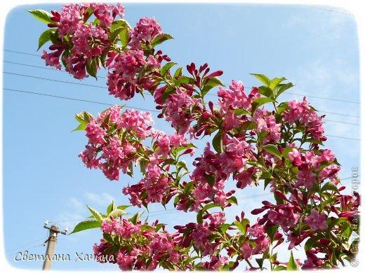 Зима, слякоть и серость и душа просит, ну уже очень сильно просит солнышка и цветочков! Дорогие гостьюшки, погуляем по моему палисадничку, порадуемся птичкам и бабочкам, понюхаем цветочки! Порадуем душу весенними красками, их у меня много! Весна у нас ранняя и бешеная! Вспыхивает и загорается мгновенно, всё цветёт и благоухает разом, не знаешь куда смотреть и, что снимать. Летом такой роскоши уже нет... Летом наши бедные растения умирают от палящего солнца и изнуряющей жары. Цветут только колючки и акации. Осень потом порадует розами и хризантемами, если лето не до конца выжжет и весной улитки  не слопают.  Персик цветёт очень рано, персиковые сады стоят в розовой пене, как клубничное варенье.  фото 32