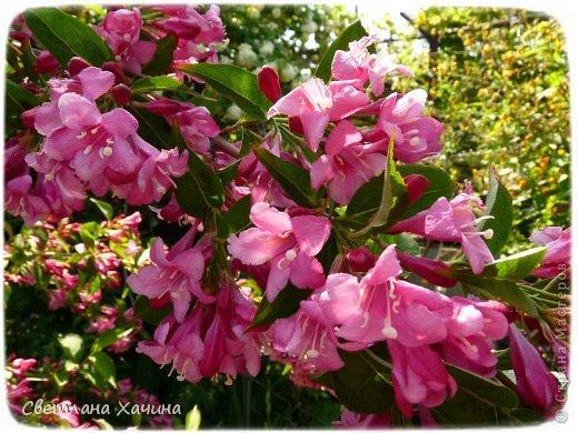 Зима, слякоть и серость и душа просит, ну уже очень сильно просит солнышка и цветочков! Дорогие гостьюшки, погуляем по моему палисадничку, порадуемся птичкам и бабочкам, понюхаем цветочки! Порадуем душу весенними красками, их у меня много! Весна у нас ранняя и бешеная! Вспыхивает и загорается мгновенно, всё цветёт и благоухает разом, не знаешь куда смотреть и, что снимать. Летом такой роскоши уже нет... Летом наши бедные растения умирают от палящего солнца и изнуряющей жары. Цветут только колючки и акации. Осень потом порадует розами и хризантемами, если лето не до конца выжжет и весной улитки  не слопают.  Персик цветёт очень рано, персиковые сады стоят в розовой пене, как клубничное варенье.  фото 34