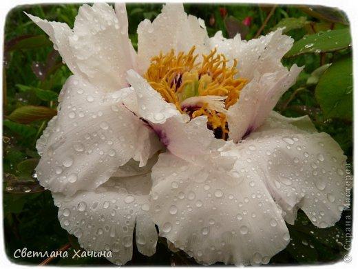 Зима, слякоть и серость и душа просит, ну уже очень сильно просит солнышка и цветочков! Дорогие гостьюшки, погуляем по моему палисадничку, порадуемся птичкам и бабочкам, понюхаем цветочки! Порадуем душу весенними красками, их у меня много! Весна у нас ранняя и бешеная! Вспыхивает и загорается мгновенно, всё цветёт и благоухает разом, не знаешь куда смотреть и, что снимать. Летом такой роскоши уже нет... Летом наши бедные растения умирают от палящего солнца и изнуряющей жары. Цветут только колючки и акации. Осень потом порадует розами и хризантемами, если лето не до конца выжжет и весной улитки  не слопают.  Персик цветёт очень рано, персиковые сады стоят в розовой пене, как клубничное варенье.  фото 50