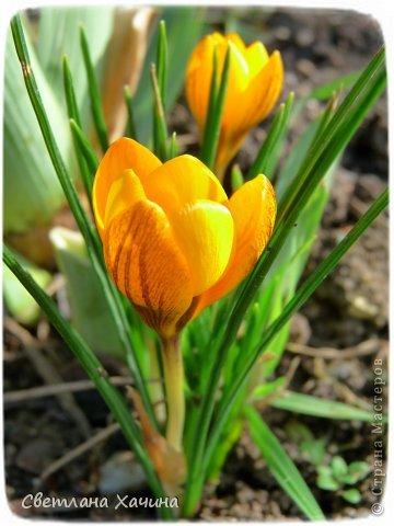 Зима, слякоть и серость и душа просит, ну уже очень сильно просит солнышка и цветочков! Дорогие гостьюшки, погуляем по моему палисадничку, порадуемся птичкам и бабочкам, понюхаем цветочки! Порадуем душу весенними красками, их у меня много! Весна у нас ранняя и бешеная! Вспыхивает и загорается мгновенно, всё цветёт и благоухает разом, не знаешь куда смотреть и, что снимать. Летом такой роскоши уже нет... Летом наши бедные растения умирают от палящего солнца и изнуряющей жары. Цветут только колючки и акации. Осень потом порадует розами и хризантемами, если лето не до конца выжжет и весной улитки  не слопают.  Персик цветёт очень рано, персиковые сады стоят в розовой пене, как клубничное варенье.  фото 8
