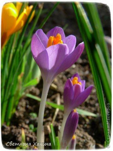 Зима, слякоть и серость и душа просит, ну уже очень сильно просит солнышка и цветочков! Дорогие гостьюшки, погуляем по моему палисадничку, порадуемся птичкам и бабочкам, понюхаем цветочки! Порадуем душу весенними красками, их у меня много! Весна у нас ранняя и бешеная! Вспыхивает и загорается мгновенно, всё цветёт и благоухает разом, не знаешь куда смотреть и, что снимать. Летом такой роскоши уже нет... Летом наши бедные растения умирают от палящего солнца и изнуряющей жары. Цветут только колючки и акации. Осень потом порадует розами и хризантемами, если лето не до конца выжжет и весной улитки  не слопают.  Персик цветёт очень рано, персиковые сады стоят в розовой пене, как клубничное варенье.  фото 9