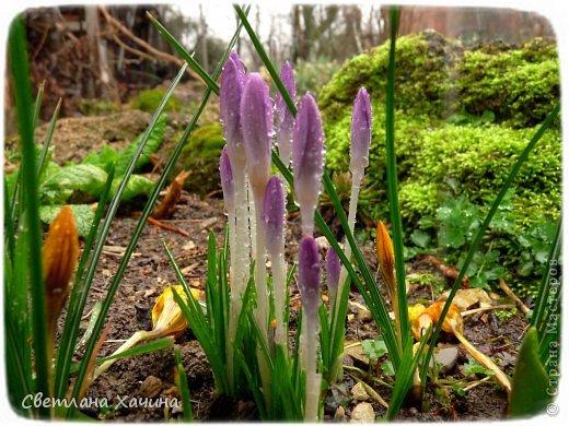Зима, слякоть и серость и душа просит, ну уже очень сильно просит солнышка и цветочков! Дорогие гостьюшки, погуляем по моему палисадничку, порадуемся птичкам и бабочкам, понюхаем цветочки! Порадуем душу весенними красками, их у меня много! Весна у нас ранняя и бешеная! Вспыхивает и загорается мгновенно, всё цветёт и благоухает разом, не знаешь куда смотреть и, что снимать. Летом такой роскоши уже нет... Летом наши бедные растения умирают от палящего солнца и изнуряющей жары. Цветут только колючки и акации. Осень потом порадует розами и хризантемами, если лето не до конца выжжет и весной улитки  не слопают.  Персик цветёт очень рано, персиковые сады стоят в розовой пене, как клубничное варенье.  фото 11