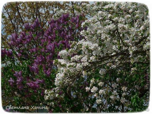 Зима, слякоть и серость и душа просит, ну уже очень сильно просит солнышка и цветочков! Дорогие гостьюшки, погуляем по моему палисадничку, порадуемся птичкам и бабочкам, понюхаем цветочки! Порадуем душу весенними красками, их у меня много! Весна у нас ранняя и бешеная! Вспыхивает и загорается мгновенно, всё цветёт и благоухает разом, не знаешь куда смотреть и, что снимать. Летом такой роскоши уже нет... Летом наши бедные растения умирают от палящего солнца и изнуряющей жары. Цветут только колючки и акации. Осень потом порадует розами и хризантемами, если лето не до конца выжжет и весной улитки  не слопают.  Персик цветёт очень рано, персиковые сады стоят в розовой пене, как клубничное варенье.  фото 28