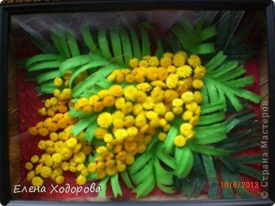 Мимоза фото 1