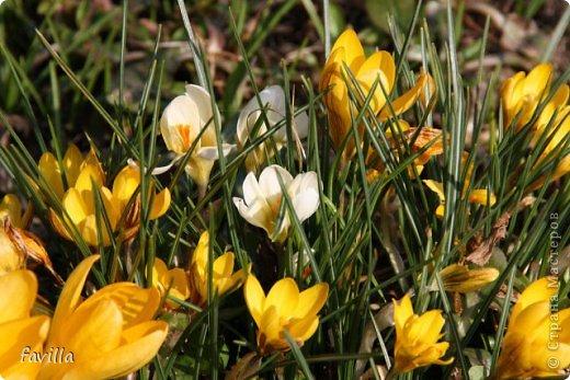 Желтые крокусы у мамы в саду