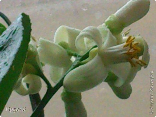 Мои лимончики цветут ))))  фото 6