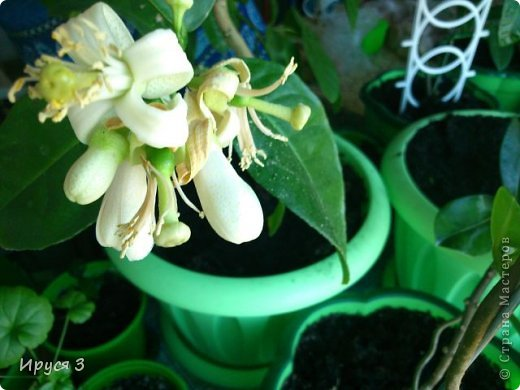 Мои лимончики цветут ))))  фото 9