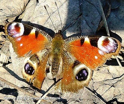 Надеюсь, что фото насекомышей будут пополняться. Очень люблю бабочек. Дневной павлиний глаз. Умничка. Прирождённая фотомодель. Совсем не боялась. Фотик чуть ли не на неё ставила. фото 9