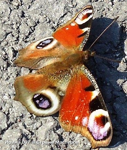 Надеюсь, что фото насекомышей будут пополняться. Очень люблю бабочек. Дневной павлиний глаз. Умничка. Прирождённая фотомодель. Совсем не боялась. Фотик чуть ли не на неё ставила. фото 5