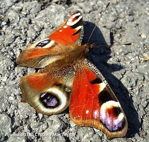 Надеюсь, что фото насекомышей будут пополняться. Очень люблю бабочек. Дневной павлиний глаз. Умничка. Прирождённая фотомодель. Совсем не боялась. Фотик чуть ли не на неё ставила. фото 3