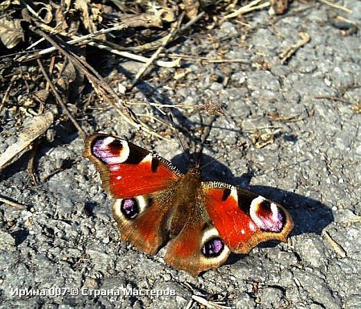 Надеюсь, что фото насекомышей будут пополняться. Очень люблю бабочек. Дневной павлиний глаз. Умничка. Прирождённая фотомодель. Совсем не боялась. Фотик чуть ли не на неё ставила. фото 1