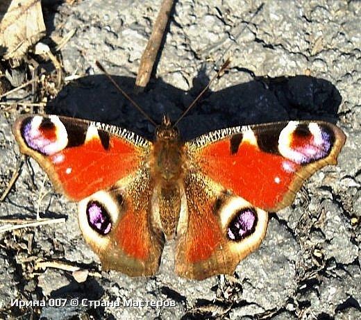 Надеюсь, что фото насекомышей будут пополняться. Очень люблю бабочек. Дневной павлиний глаз. Умничка. Прирождённая фотомодель. Совсем не боялась. Фотик чуть ли не на неё ставила. фото 4