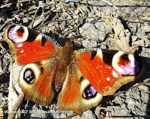 Надеюсь, что фото насекомышей будут пополняться. Очень люблю бабочек. Дневной павлиний глаз. Умничка. Прирождённая фотомодель. Совсем не боялась. Фотик чуть ли не на неё ставила. фото 7