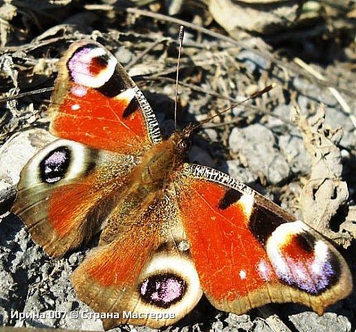 Надеюсь, что фото насекомышей будут пополняться. Очень люблю бабочек. Дневной павлиний глаз. Умничка. Прирождённая фотомодель. Совсем не боялась. Фотик чуть ли не на неё ставила. фото 6
