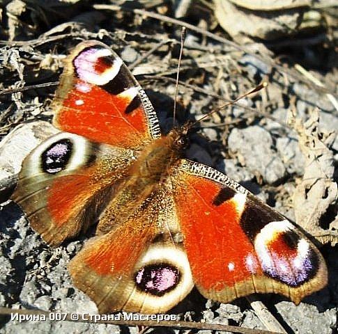 Надеюсь, что фото насекомышей будут пополняться. Очень люблю бабочек. Дневной павлиний глаз. Умничка. Прирождённая фотомодель. Совсем не боялась. Фотик чуть ли не на неё ставила. фото 8