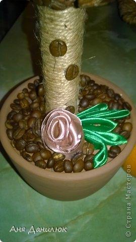 вот такое первое кофейное деревце у меня выросло  фото 3