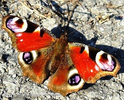 Надеюсь, что фото насекомышей будут пополняться. Очень люблю бабочек. Дневной павлиний глаз. Умничка. Прирождённая фотомодель. Совсем не боялась. Фотик чуть ли не на неё ставила. фото 2