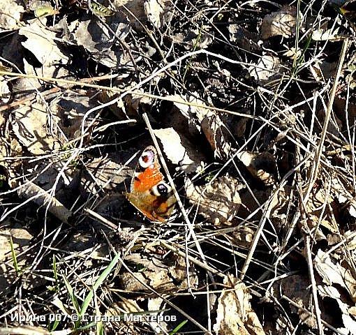 Надеюсь, что фото насекомышей будут пополняться. Очень люблю бабочек. Дневной павлиний глаз. Умничка. Прирождённая фотомодель. Совсем не боялась. Фотик чуть ли не на неё ставила. фото 11