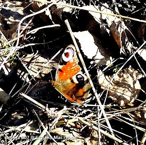 Надеюсь, что фото насекомышей будут пополняться. Очень люблю бабочек. Дневной павлиний глаз. Умничка. Прирождённая фотомодель. Совсем не боялась. Фотик чуть ли не на неё ставила. фото 10