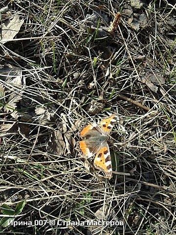 Надеюсь, что фото насекомышей будут пополняться. Очень люблю бабочек. Дневной павлиний глаз. Умничка. Прирождённая фотомодель. Совсем не боялась. Фотик чуть ли не на неё ставила. фото 12