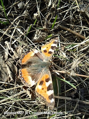 Надеюсь, что фото насекомышей будут пополняться. Очень люблю бабочек. Дневной павлиний глаз. Умничка. Прирождённая фотомодель. Совсем не боялась. Фотик чуть ли не на неё ставила. фото 13