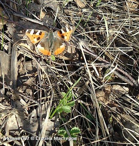 Надеюсь, что фото насекомышей будут пополняться. Очень люблю бабочек. Дневной павлиний глаз. Умничка. Прирождённая фотомодель. Совсем не боялась. Фотик чуть ли не на неё ставила. фото 15