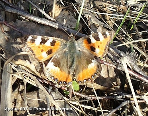 Надеюсь, что фото насекомышей будут пополняться. Очень люблю бабочек. Дневной павлиний глаз. Умничка. Прирождённая фотомодель. Совсем не боялась. Фотик чуть ли не на неё ставила. фото 14