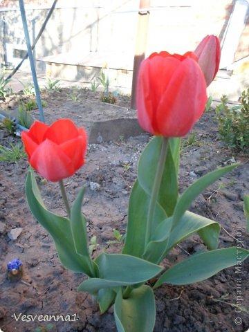Здравствуйте! На улице весна, цветут тюльпаны, а у меня появились вот такие тюльпаны из кусочков разной ткани. фото 18