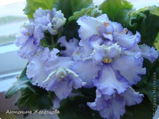Предлагаю полюбоваться цветением моих фиалочек. Вот такая она красавица в полном цветении. фото 31