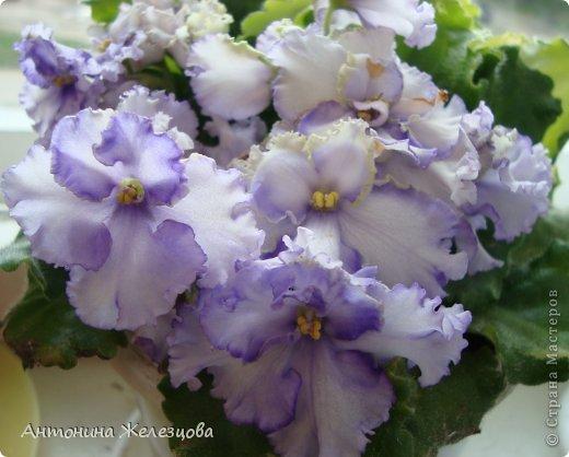 Предлагаю полюбоваться цветением моих фиалочек. Вот такая она красавица в полном цветении. фото 32
