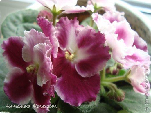 Предлагаю полюбоваться цветением моих фиалочек. Вот такая она красавица в полном цветении. фото 29