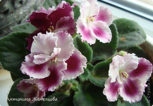 Предлагаю полюбоваться цветением моих фиалочек. Вот такая она красавица в полном цветении. фото 30