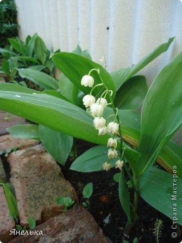 Всем доброго времени суток! Решила показать немного своих цветочков, которые цвели в саду весной..... приятного просмотра фото 10