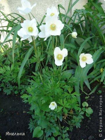 Всем доброго времени суток! Решила показать немного своих цветочков, которые цвели в саду весной..... приятного просмотра фото 12