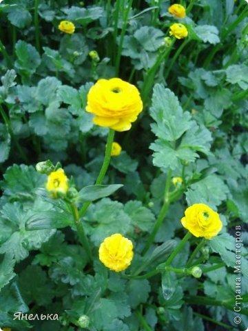 Всем доброго времени суток! Решила показать немного своих цветочков, которые цвели в саду весной..... приятного просмотра фото 25