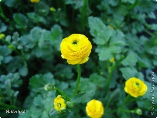 Всем доброго времени суток! Решила показать немного своих цветочков, которые цвели в саду весной..... приятного просмотра фото 26