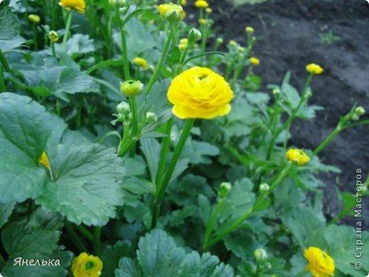 Всем доброго времени суток! Решила показать немного своих цветочков, которые цвели в саду весной..... приятного просмотра фото 27