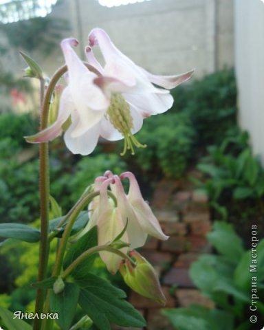 Всем доброго времени суток! Решила показать немного своих цветочков, которые цвели в саду весной..... приятного просмотра фото 9
