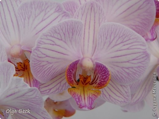 Причины  почему у орхидеи вянут цветы и бутоны. Проблемы цветения.