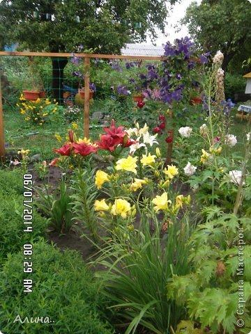 Добрый день Страна Мастеров! Хочу показать Вам свой зеленый уголок, где я выращиваю свои цветы... Это карликовая георгина... фото 5