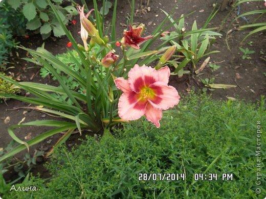 Добрый день Страна Мастеров! Хочу показать Вам свой зеленый уголок, где я выращиваю свои цветы... Это карликовая георгина... фото 11