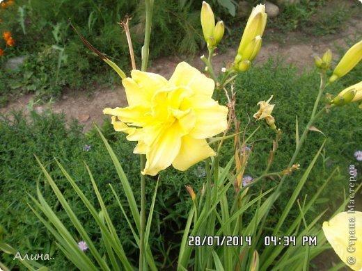 Добрый день Страна Мастеров! Хочу показать Вам свой зеленый уголок, где я выращиваю свои цветы... Это карликовая георгина... фото 12