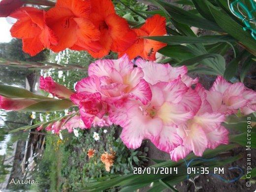 Добрый день Страна Мастеров! Хочу показать Вам свой зеленый уголок, где я выращиваю свои цветы... Это карликовая георгина... фото 13