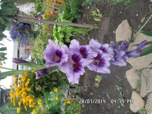 Добрый день Страна Мастеров! Хочу показать Вам свой зеленый уголок, где я выращиваю свои цветы... Это карликовая георгина... фото 14