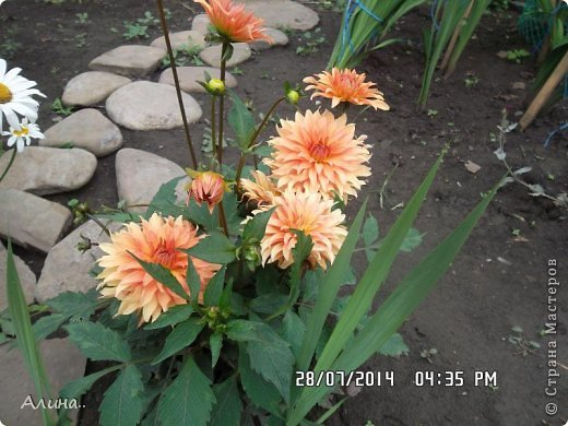 Добрый день Страна Мастеров! Хочу показать Вам свой зеленый уголок, где я выращиваю свои цветы... Это карликовая георгина... фото 1