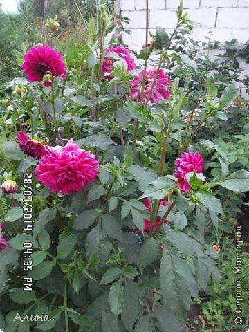 Добрый день Страна Мастеров! Хочу показать Вам свой зеленый уголок, где я выращиваю свои цветы... Это карликовая георгина... фото 16